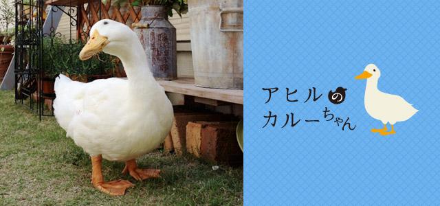 愛鳥家・著者ライターのコラム アヒルのカルーちゃん