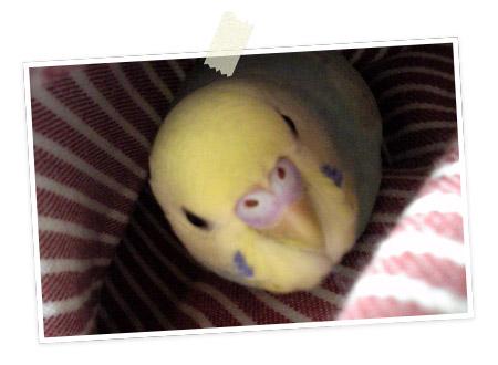 今日の愛鳥「りっち」