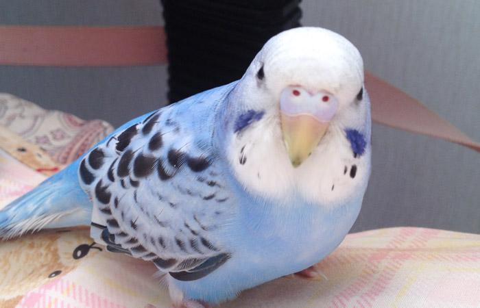 今日の愛鳥「ポポ」