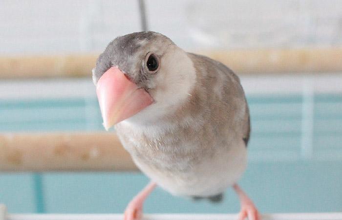 今日の愛鳥「めんま」