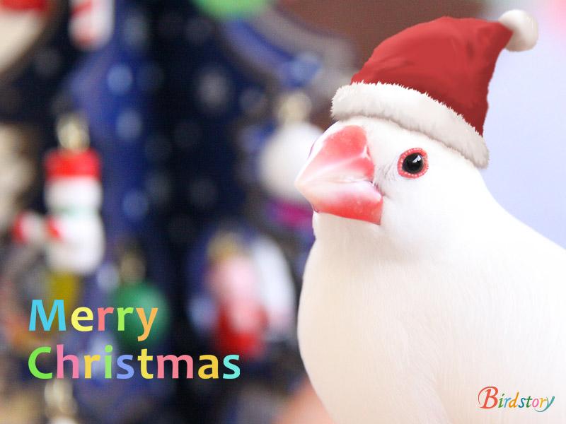 クリスマス セキセイインコ