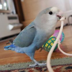 鳥フォトコンテスト「ラピス」さん