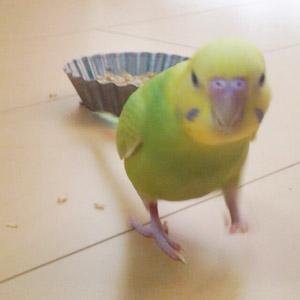 セキセイインコ コロ助 鳥フォトコンテストvol.017 テーマ「歩く」結果発表