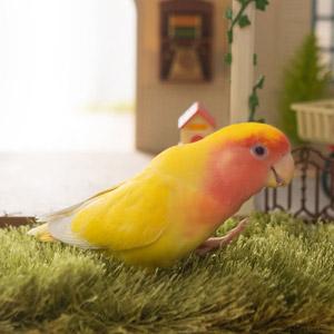 コザクラインコ coco 鳥フォトコンテストvol.017 テーマ「歩く」結果発表