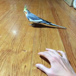 オカメインコ ピー太郎 鳥フォトコンテストvol.017 テーマ「歩く」結果発表