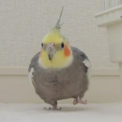 鳥フォトコンテスト「とらちゃん」さん