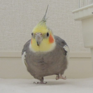 オカメインコ とらちゃん 鳥フォトコンテストvol.017 テーマ「歩く」結果発表