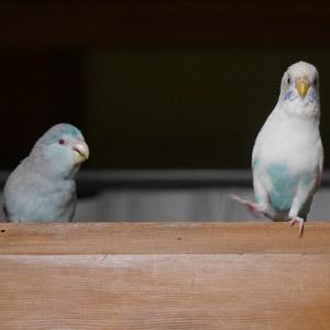 マメルリハ・セキセイインコ まろ・ちろ 鳥フォトコンテストvol.017 テーマ「歩く」結果発表