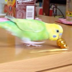 鳥フォトコンテスト「コロ助」さん