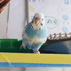 セキセイインコ そら 鳥フォトコンテストvol.017 テーマ「歩く」結果発表