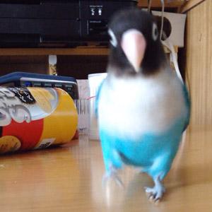 ボタンインコ バタピー 鳥フォトコンテストvol.017 テーマ「歩く」結果発表