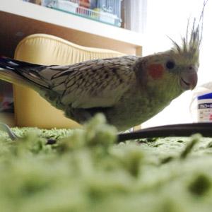 オカメインコ 春 鳥フォトコンテストvol.017 テーマ「歩く」結果発表