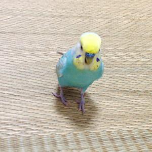 セキセイインコ バード 鳥フォトコンテストvol.017 テーマ「歩く」結果発表