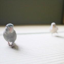 鳥フォトコンテスト「マロ・チロ」さん