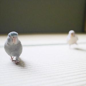 マメルリハ・セキセイインコ マロ・チロ 鳥フォトコンテストvol.017 テーマ「歩く」結果発表