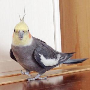 オカメインコ カブ 鳥フォトコンテストvol.017 テーマ「歩く」結果発表