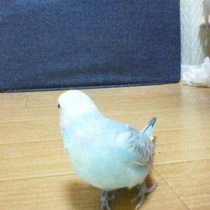 セキセイインコ てん 鳥フォトコンテストvol.017 テーマ「歩く」結果発表
