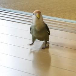 鳥フォトコンテスト「チャコ」さん