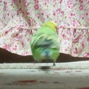 セキセイインコ みどり 鳥フォトコンテストvol.017 テーマ「歩く」結果発表