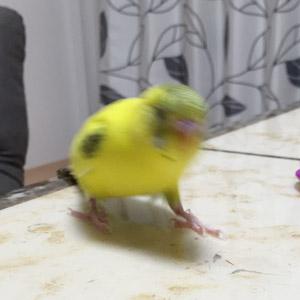 セキセイインコ タラ 鳥フォトコンテストvol.017 テーマ「歩く」結果発表
