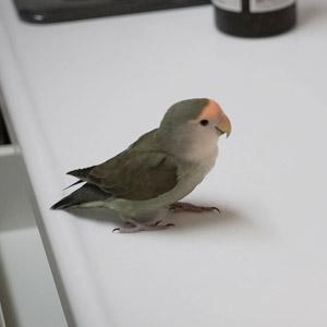 コザクラインコ チャコ 鳥フォトコンテストvol.017 テーマ「歩く」結果発表