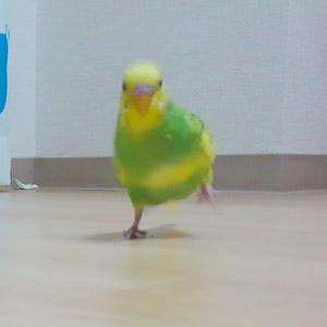セキセイインコ ポジ 鳥フォトコンテストvol.017 テーマ「歩く」結果発表