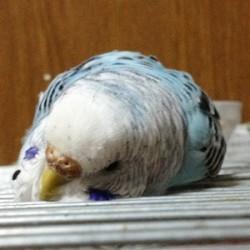 鳥フォトコンテスト「ジジ」さん