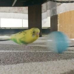 鳥フォトコンテスト「ころもち」さん