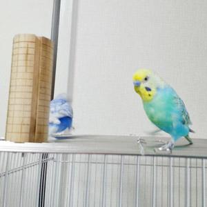 セキセイインコ さん太・めりお 鳥フォトコンテストvol.017 テーマ「歩く」結果発表