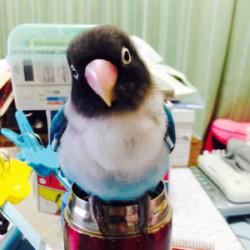 鳥フォトコンテスト「リリィ」さん