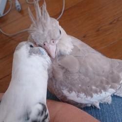 鳥フォトコンテスト「さくら・シナモン」さん