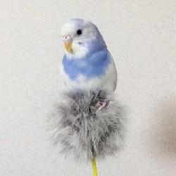 鳥フォトコンテスト「あおい」さん