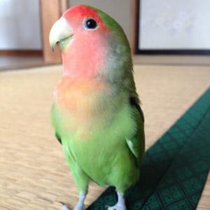コザクラインコ よつば 鳥フォトコンテストvol.017 テーマ「歩く」結果発表