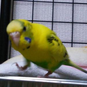 鳥フォトコンテスト「レモン」さん