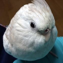 鳥フォトコンテスト「ぴよたん」さん