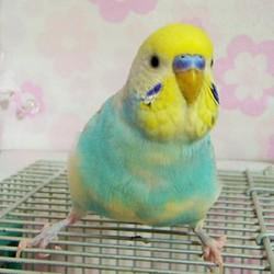 鳥フォトコンテスト「チロロ」さん