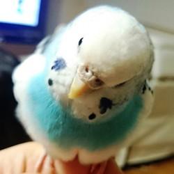 鳥フォトコンテスト「ぴー」さん