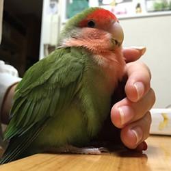 鳥フォトコンテスト「ピスケ」さん