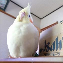 鳥フォトコンテスト「ぴよ」さん