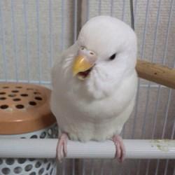鳥フォトコンテスト「しらたま」さん
