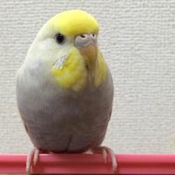 鳥フォトコンテスト「ぴこ」さん