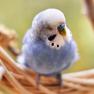 鳥フォトコンテスト「ピヨコ」さん