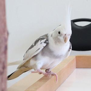 鳥フォトコンテスト「ぴいすけ」さん