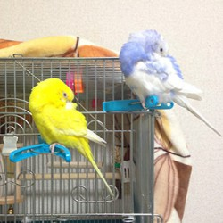 鳥フォトコンテスト「いちご・あおい」さん