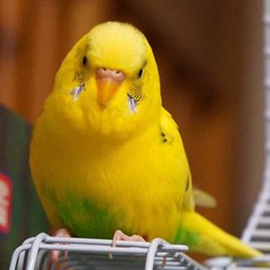 セキセイインコ ちろる 鳥フォトコンテストvol.018 テーマ「もふもふ」結果発表