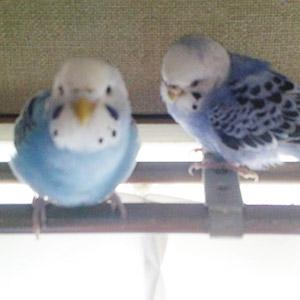 鳥フォトコンテスト「アメ・リリ」さん