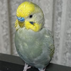 セキセイインコ チロ 鳥フォトコンテストvol.022 テーマ「換羽」結果発表