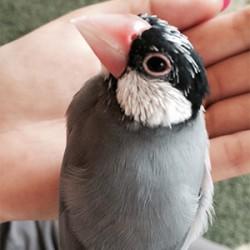 鳥フォトコンテスト「カフー」さん