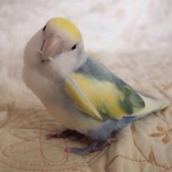 鳥フォトコンテスト「クー」さん