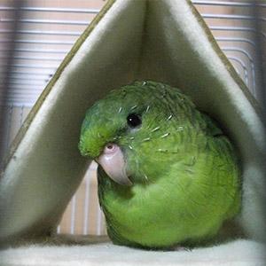サザナミインコ<br />  ぐりちゃん<br />  鳥フォトコンテストvol.022 テーマ「換羽」結果発表